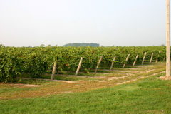Field of grapes. Grape field ready for harvest Royalty Free Stock Photos