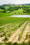 Field of grapes on a pond in San Gimignano royalty free stock images