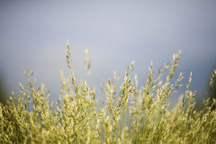 Field of grass. Background of grass, shallow depth of field royalty free stock images