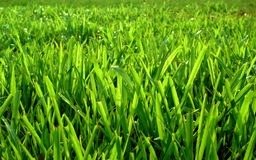 Field grass Royalty Free Stock Photo
