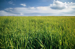 Field of grass. Field of green grass. Focus in a center image Royalty Free Stock Photos