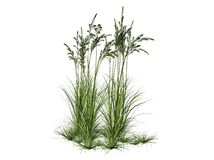 Field grass. A three-dimensional rendering of flowering field grass on a white background Royalty Free Stock Images