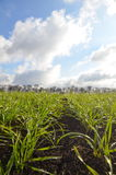 Field of grass. Field of agricultural plants in Ukraine, grass royalty free stock images