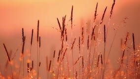 Field of Grass in Backlight Sunlight stock video