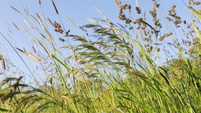 Field of grass with blowing wind stock video footage