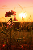 Wild mallow flowers on a sunset background. Stock Photography