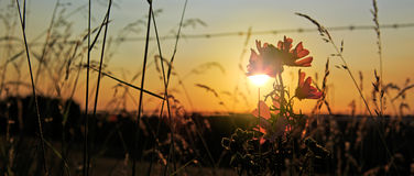 Wild mallow flowers on a sunset background. Stock Photo