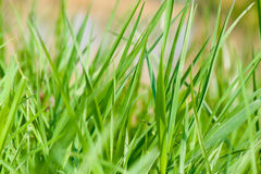 Field of grass closeup Stock Photo