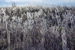 Field of grass covered with frost Stock Image