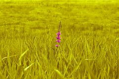 Field, Grass, Crop, Grass Family stock image