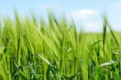 Field, Grass, Crop, Grass Family stock images
