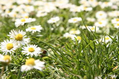 Field of grass and daisies Royalty Free Stock Image