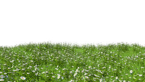 Field with grass and daisies on a white background Royalty Free Stock Photos