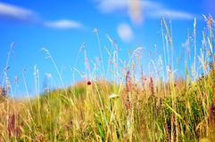 Field with grass and flowers Royalty Free Stock Photo