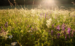 Field of grass and flowers summer meadow nature background Royalty Free Stock Images