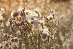 A field of grass with fluffy white and soft seeds Stock Image