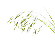 Field grass inflorescence Royalty Free Stock Images