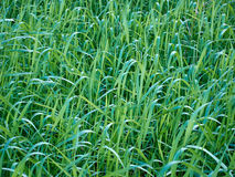 Field of grass that make a green texture.  Stock Image