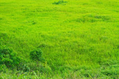 Field of grass on meadow in the wind Royalty Free Stock Photography