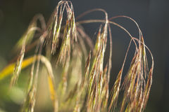 Field grass miscanthus Stock Images