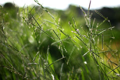Field of grass. Morning green grasses cover with dew and bokeh background Royalty Free Stock Images