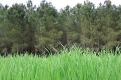 Field of grass. A field of grass near from a pine forest Royalty Free Stock Images