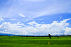Field of grass and perfect sky. Field of rice and perfect sky ,THAILAND Stock Photos