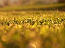 Field of grass with selective focus during golden hour. Sunset Royalty Free Stock Images