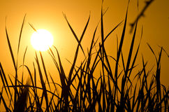 Field Grass Silhouetted in the Light of the Early Morning Sunrise Royalty Free Stock Photos
