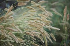 Field of grass with spikelets royalty free stock photo