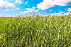 Field of grass during summer day Royalty Free Stock Photos