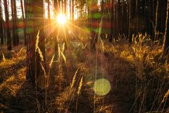 Field grass with sunset sun. Field grass in the sunlight in a forest with pines Stock Photos