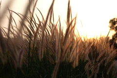 Field of grass during sunlight, sunset, set rise Stock Image