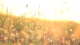 Field of grass during sunset stock video