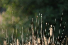 Yellow dry ears of grass cereals on the green forest background. Royalty Free Stock Images