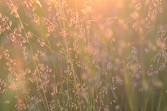 Field grass at sunset. Soft focus. Golden bronze background. Shiny grass stems. Peace of mind stock photography