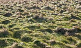 Field of grass tussocks. Lit by low sun Stock Photos