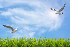 Field of grass under sky and flying birds Royalty Free Stock Image