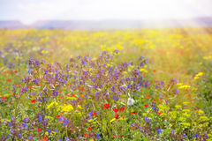 Field with grass, violet flowers and red. Stock Image