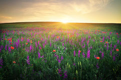 Field with grass, violet flowers and red poppies Royalty Free Stock Image