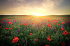 Field with grass, violet flowers and red poppies Royalty Free Stock Photos