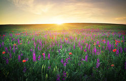 Field with grass, violet flowers and red poppies stock photography