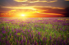 Field with grass, violet flowers and red poppies. Against the sunset sky Stock Photos