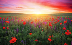 Field with grass, violet flowers and red poppies. Against the sunset sky Stock Images