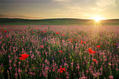 Field with grass, violet flowers and red poppies. Sunset stock image