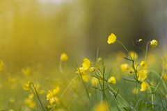 Field with grass and yellow flowers in Spring time. With blurred background royalty free stock image