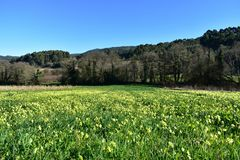 Field with grass, yellow flowers and trees. Blue sky, sunny day. Galicia, Spain. stock image