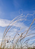 Field grasses against the blue sky. Field grasses against the dark blue sky Stock Image