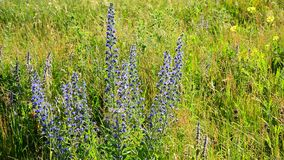 Field grasses and flowers in Russia stock footage