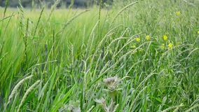 Field grasses and flowers in Russia stock video